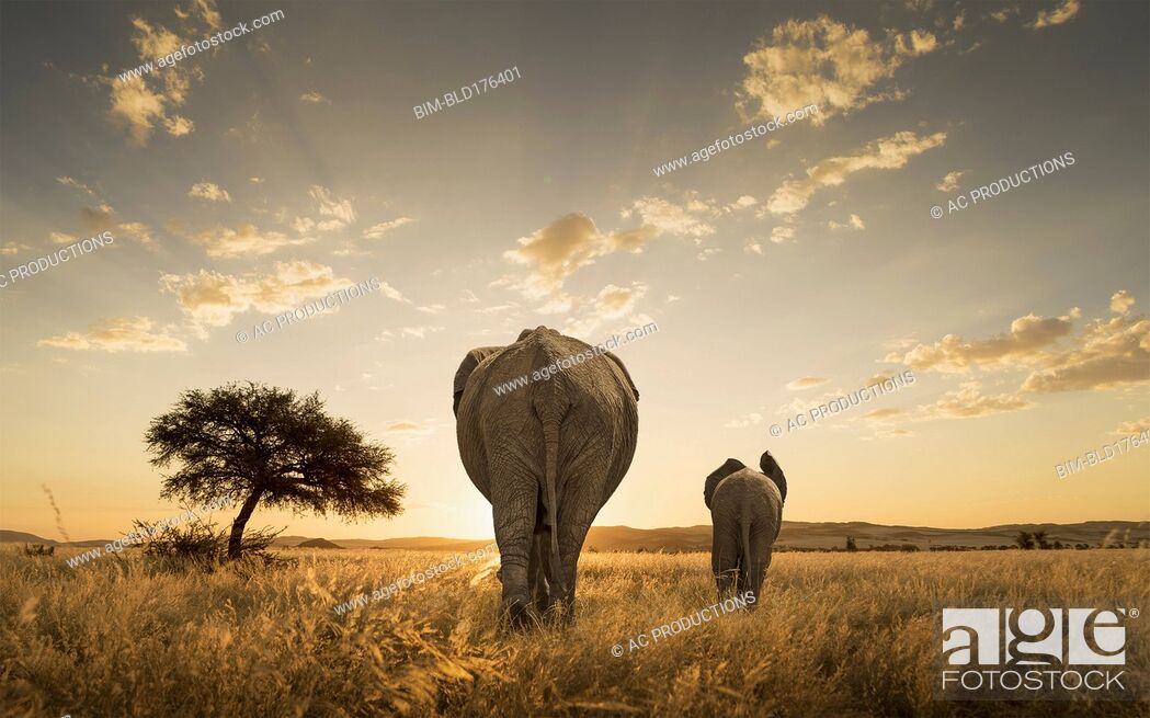 Stock Photo: Elephant and calf grazing in savanna field.