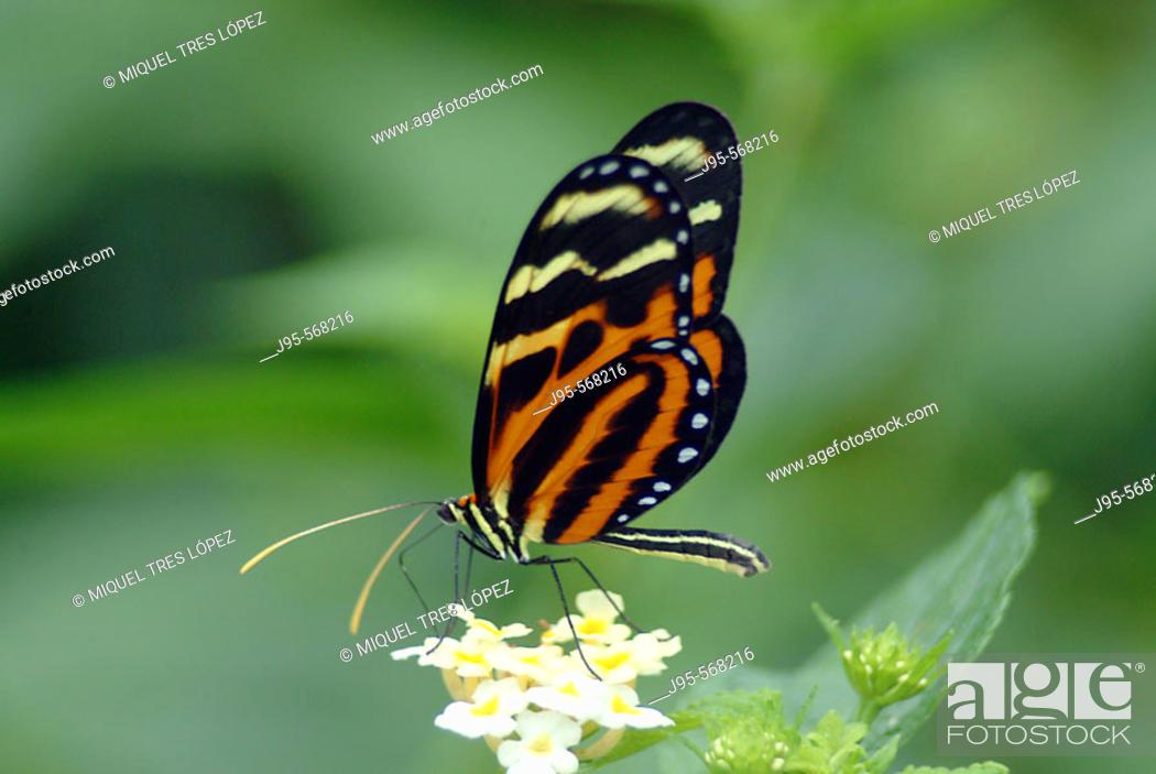 Stock Photo: Glassywing Butterfly (Lycorea cleobaea). Monteverde, Costa rica.