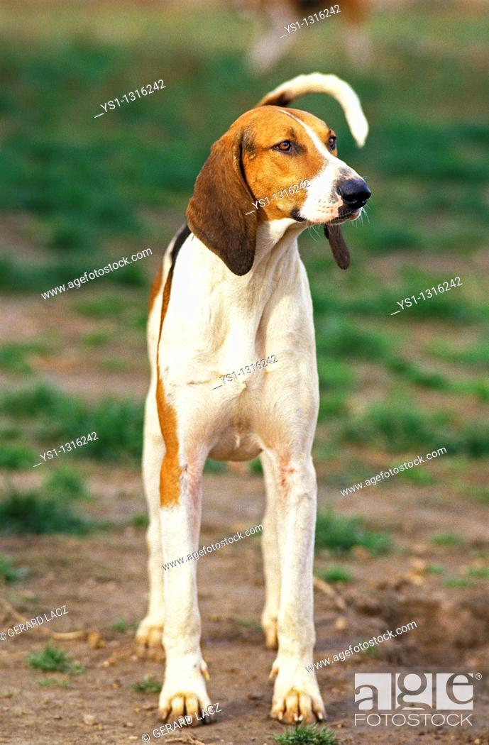 Stock Photo: GREAT ANGLO-FRENCH TRICOLOUR HOUND, ADULT.