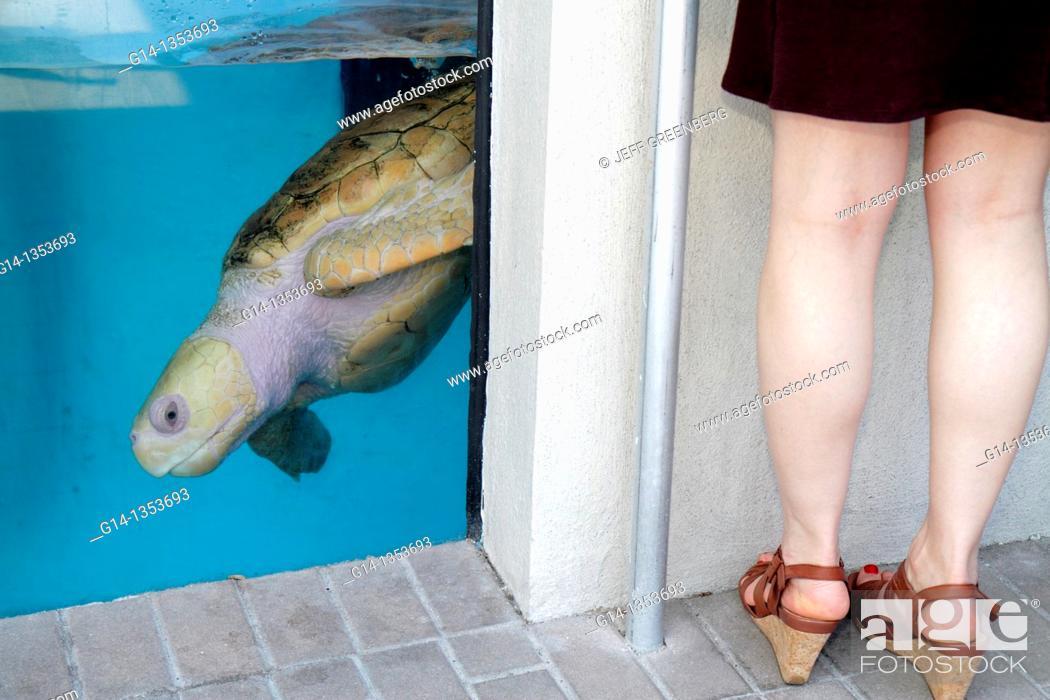 Stock Photo: Florida, Sarasota, Lido Key, Mote Marine Laboratory Aquarium, sea turtle, tank,.