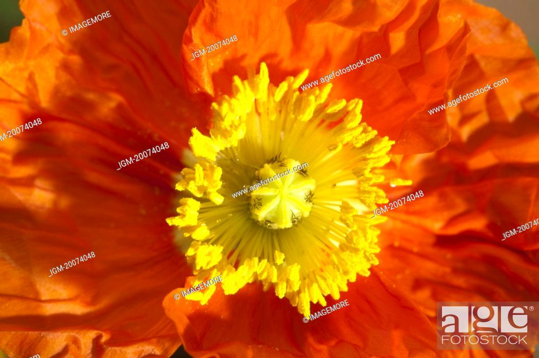 Stock Photo: Corn poppy.
