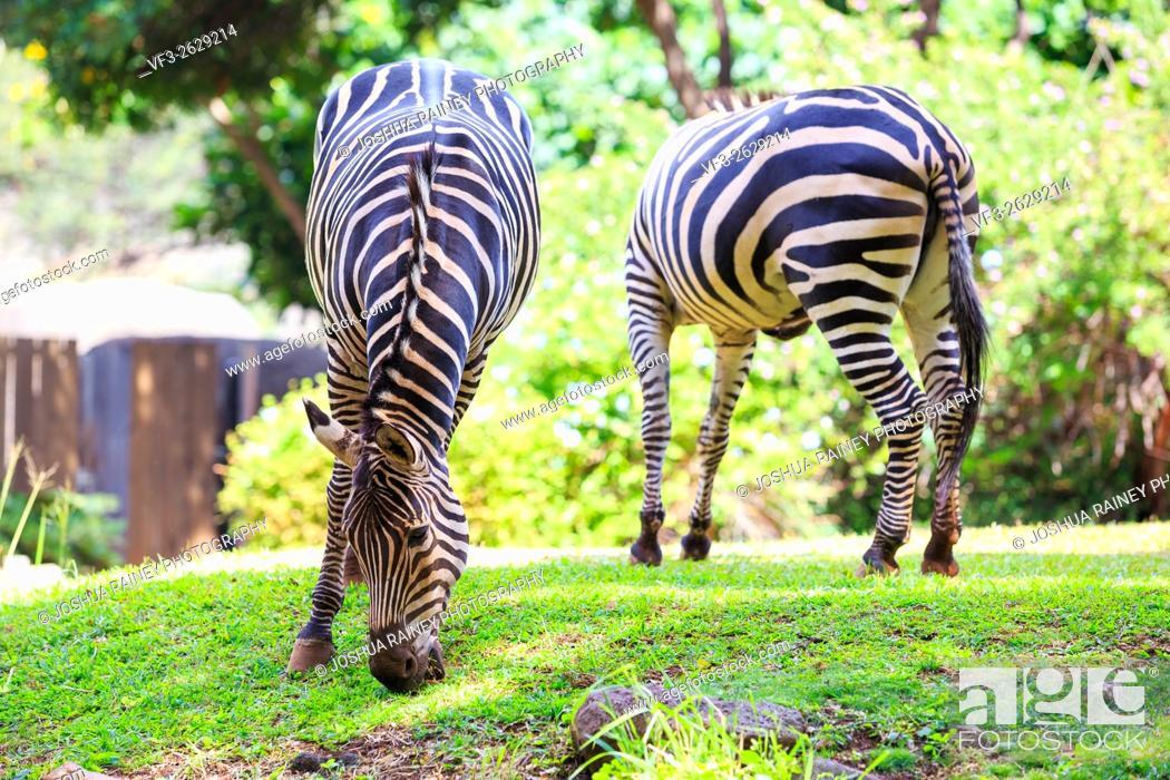Stock Photo: Two zebras graze on green grass at the Honolulu Zoo in Oahu Hawaii.