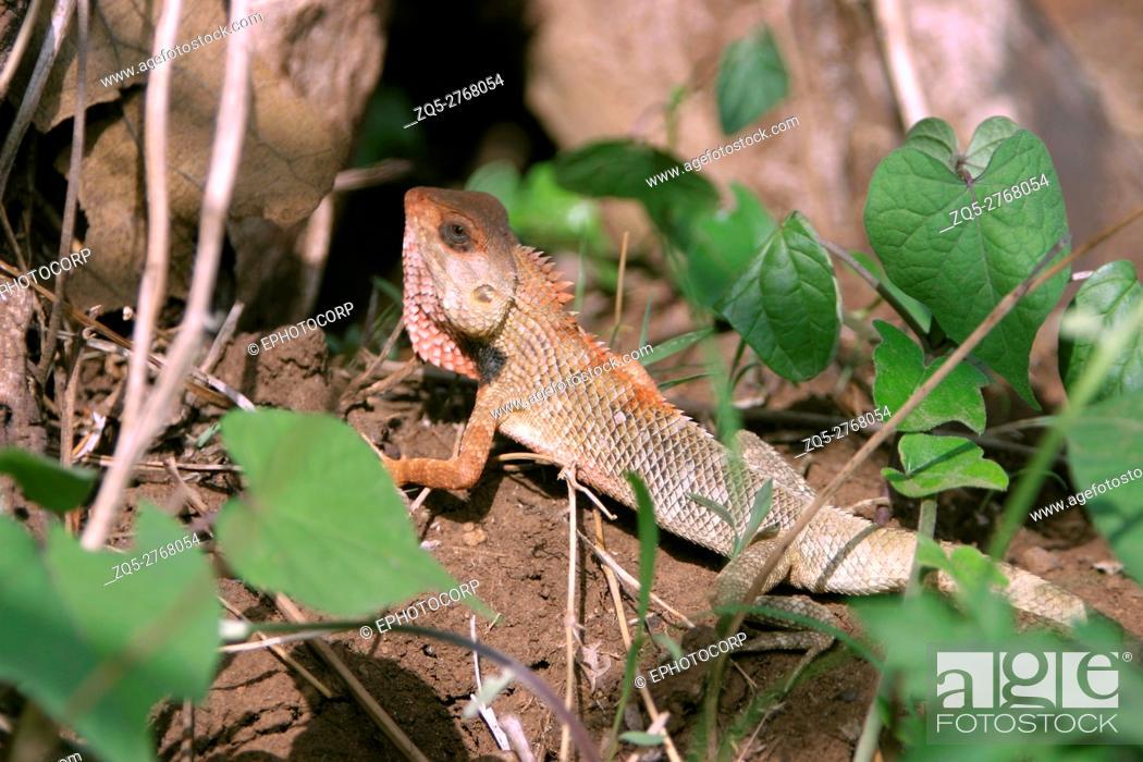 Stock Photo: Common Garden Lizard or Bloodsucker, Calotes versicolor, Sinhagad Valley, Western Ghats, Maharashtra, India.