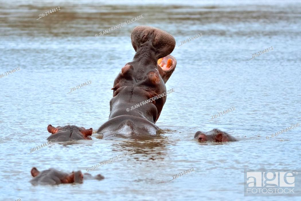 Stock Photo: Hippopotamus (Hippopotamus amphibius), yawning, Kruger National Park, South Africa, Africa.