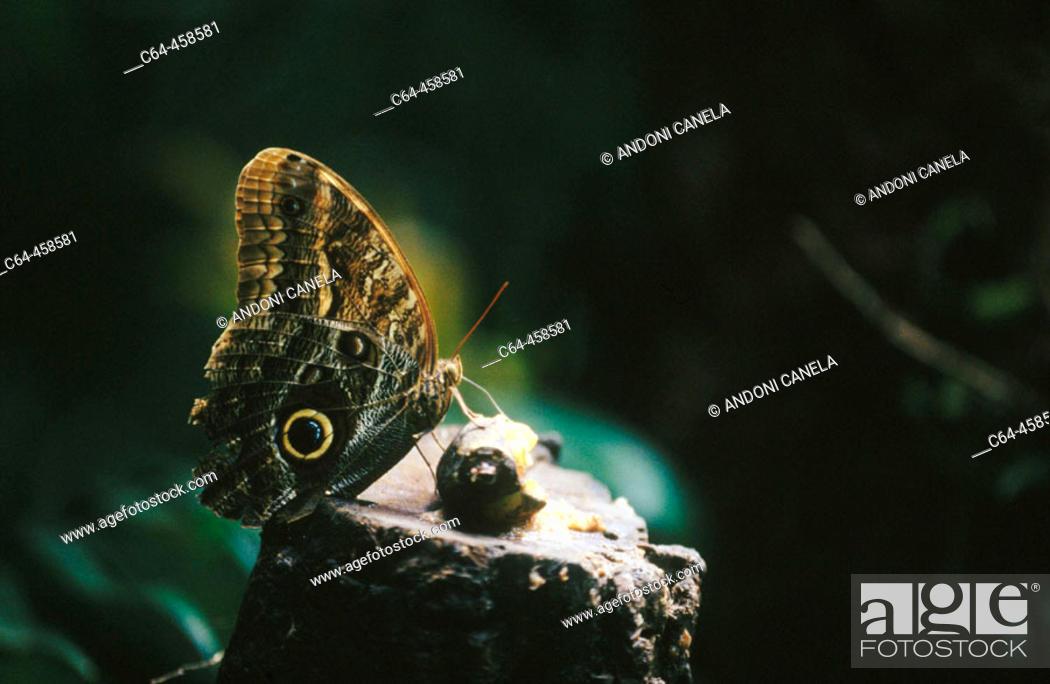 Stock Photo: Morpho butterfly. Monteverde, Costa Rica.