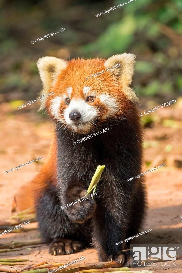 Stock Photo: China, Sichuan, Research Base of Giant Panda Breeding or Chengdu Panda Base, Red Panda (Ailurus fulgens), captive, on the ground.