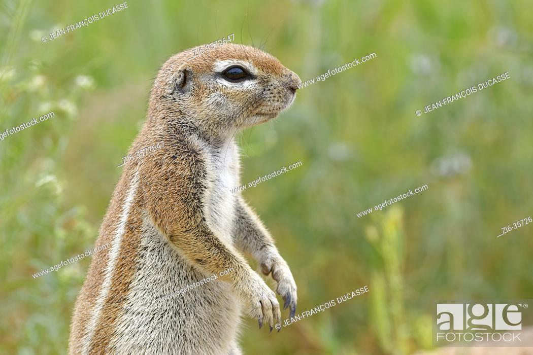 Stock Photo: Cape ground squirrel (Xerus inauris), adult, looking out from the burrow entrance, alert, Kgalagadi Transfrontier Park, Northern Cape, South Africa, Africa.