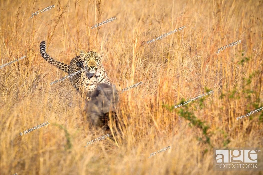 Stock Photo: A leopard chasing a warthog through tall grass.