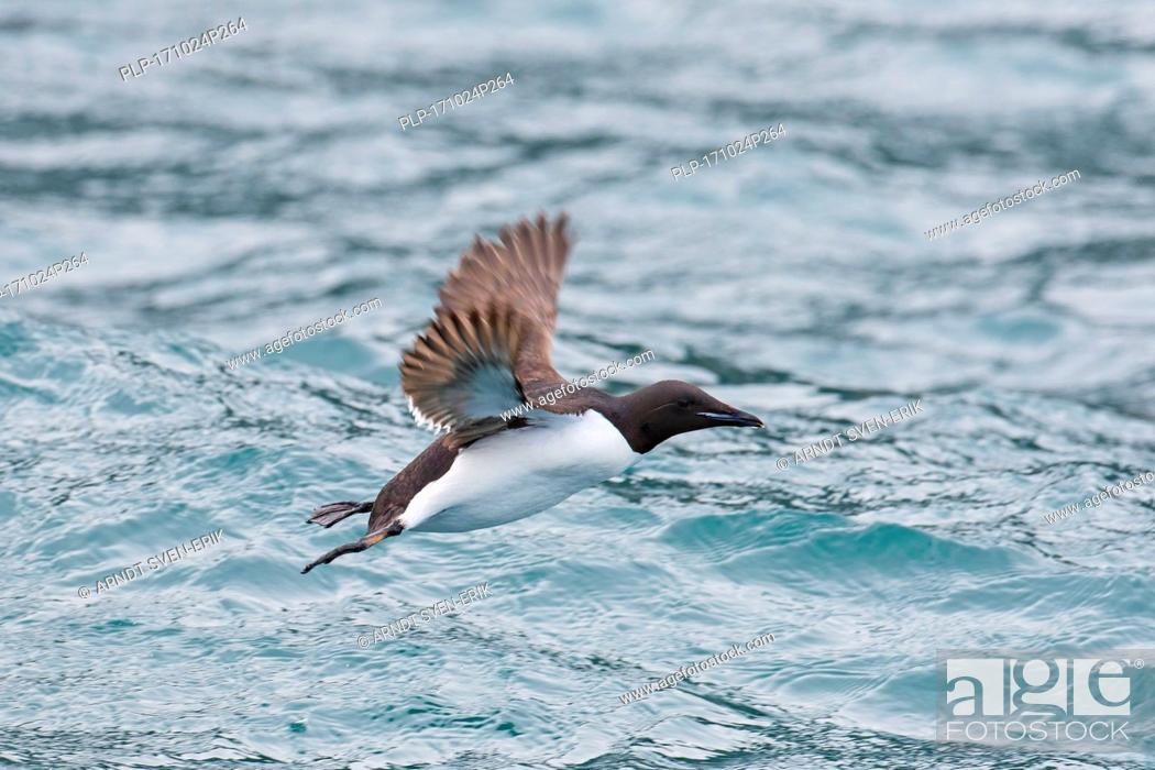 Stock Photo: Thick-billed murre / Brünnich's guillemot (Uria lomvia) in flight above sea water, native to the sub-polar regions of the Northern Hemisphere.