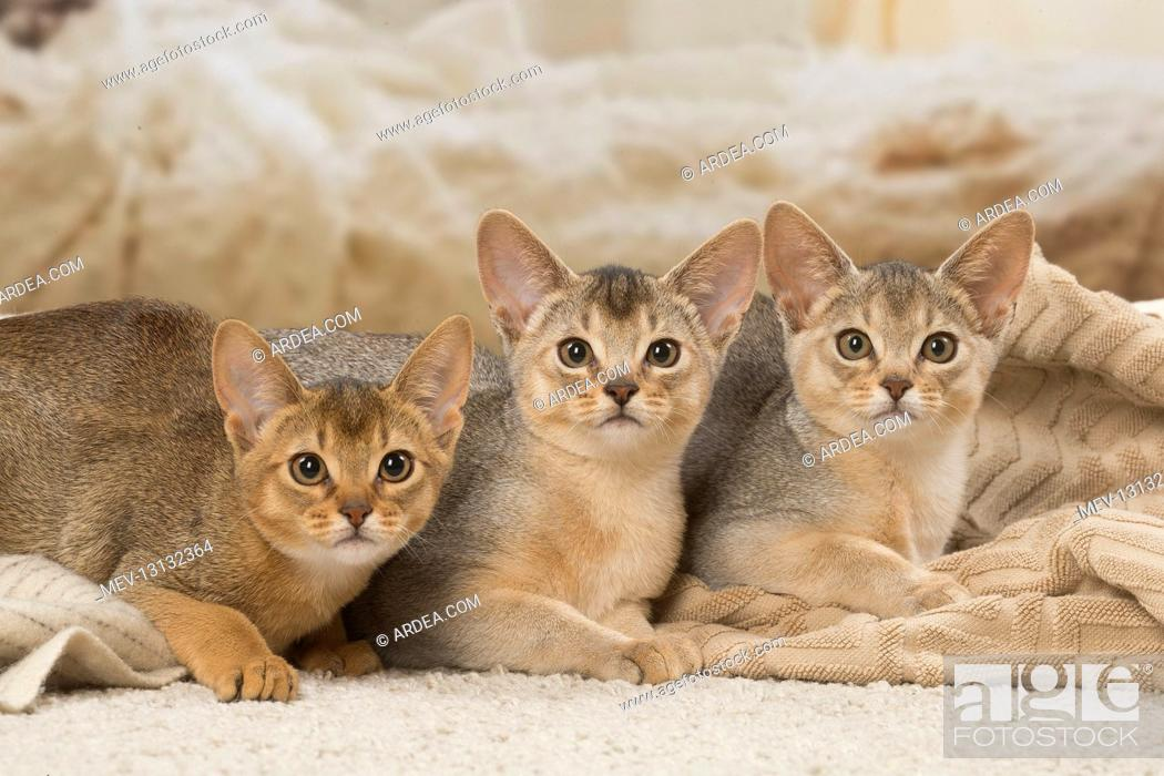 Stock Photo: Abyssinian kittens indoors.