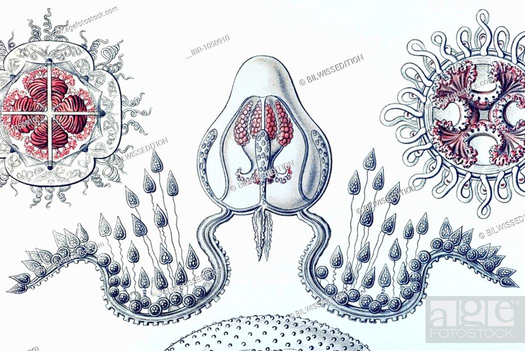 Stock Photo: Historic illustration, Jellyfish (Anthomedusae), tablet 46, Ernst Haeckel, Kunstformen der Natur, Artforms of Nature.