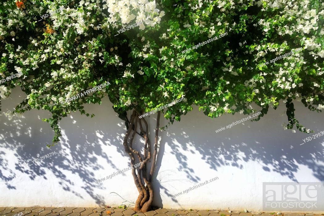 Imagen: Bougainvillaea flowering tree, Lagos, Algarve, Portugal, Europe.