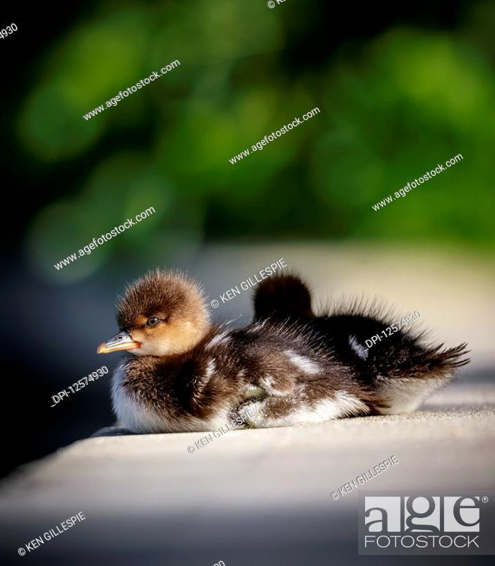 Stock Photo: Hooded Merganser Ducklings (Lophodytes cucullatus); Manitoba, Canada.