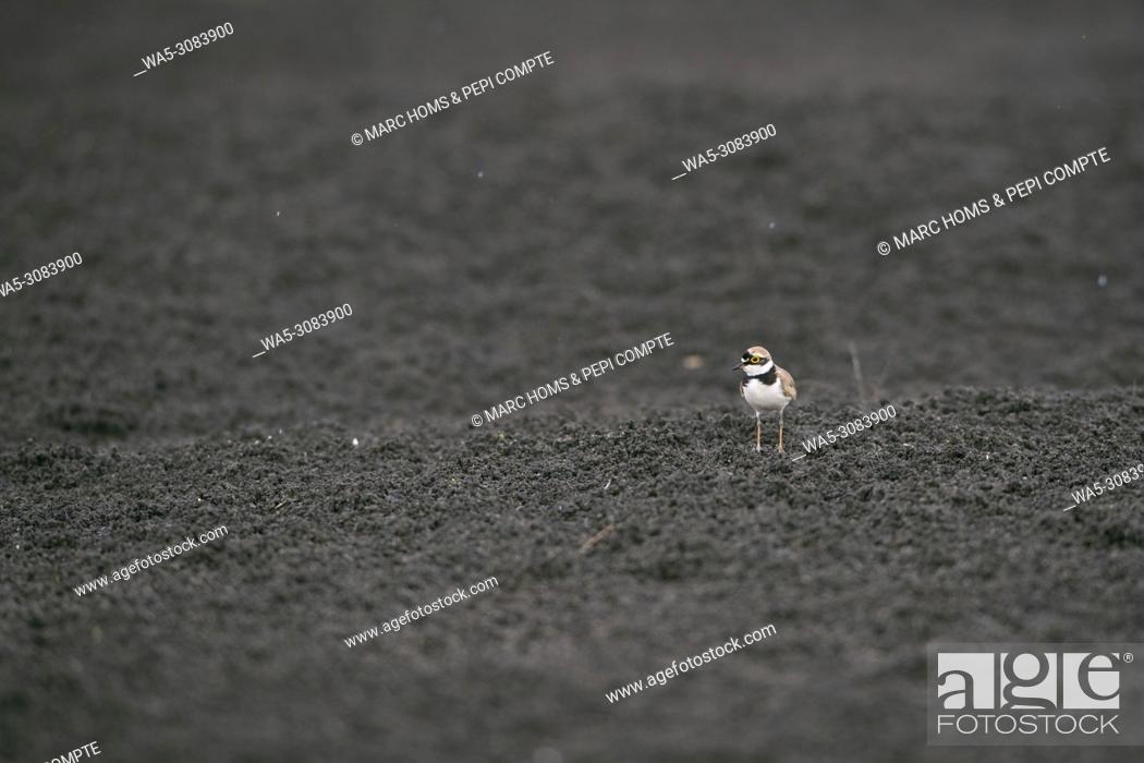 Imagen: Little ringed plover on a black sand under the rain in Garrotxa, Catalonia, Spain.
