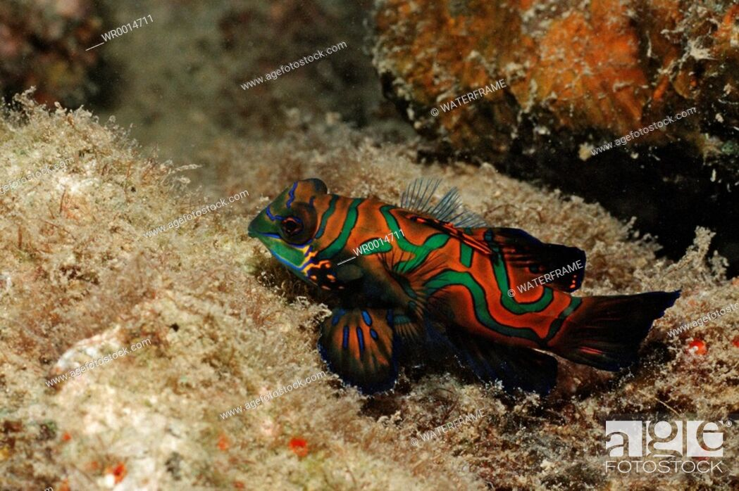 Stock Photo: Mandarinfish, Synchiropus splendidus, Pacific, Micronesia, Palau.