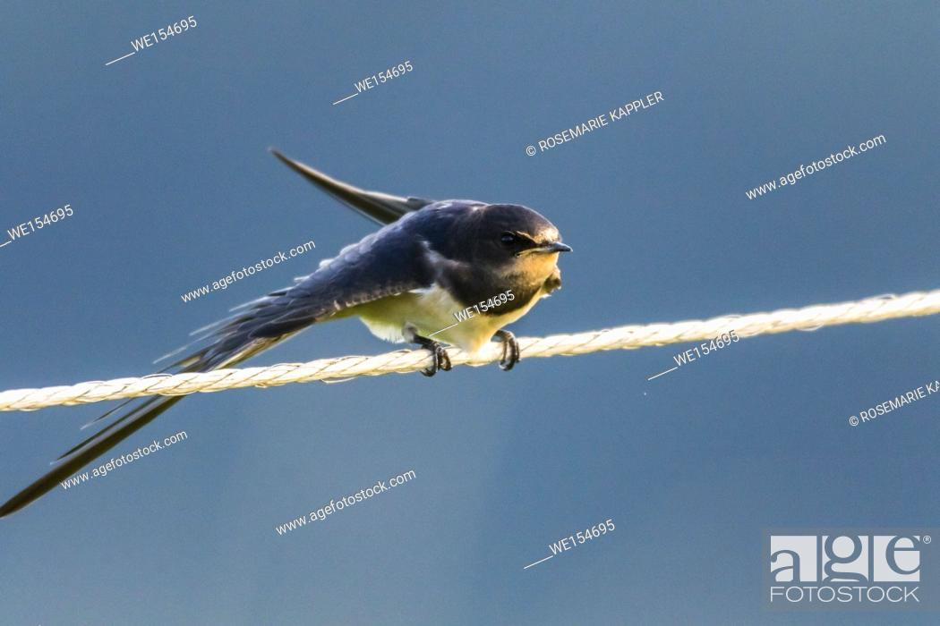 Stock Photo: Germany, Saarland, Bexbach - A barn swallow is sitting on a fence.