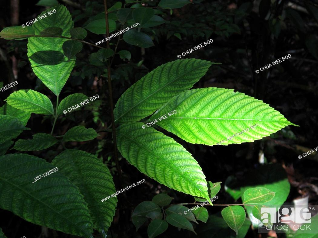 Stock Photo: Leaves. Stutong Forest Reserve Parks, Kuching, Sarawak, Malaysia.