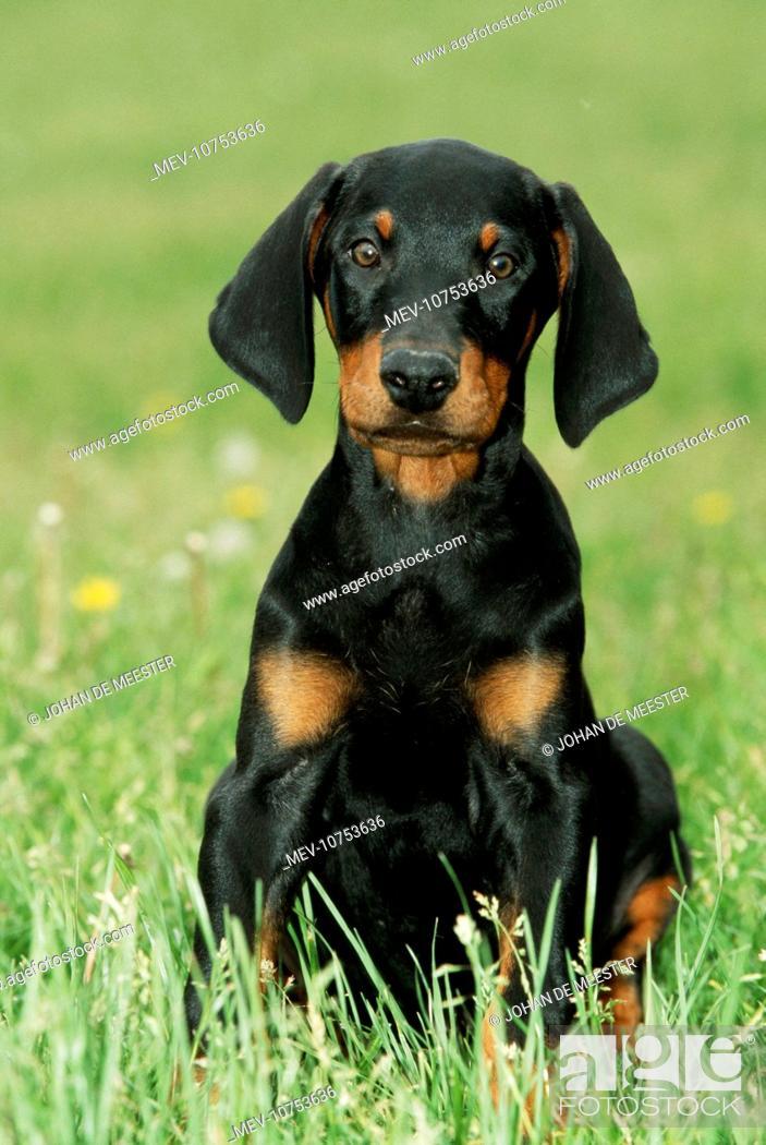Dobermann Doberman Pinscher Dog Puppy With Long Ears Stock