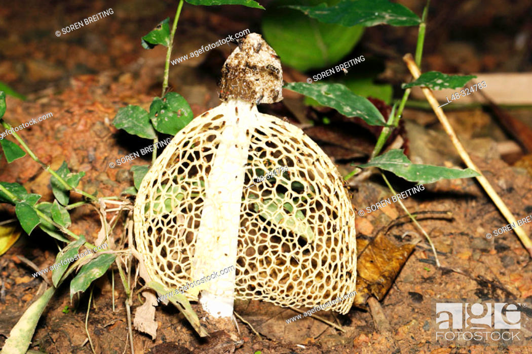 Stock Photo: Stinkhorn fungus called Maiden's Veil or the Veiled Stinkhorn (Dictyophora sp.) on forest floor in Thailand forest during rainy season.