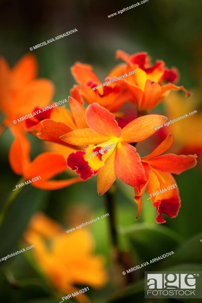 Imagen: Orchid, Studio shot of orange coloured flower.
