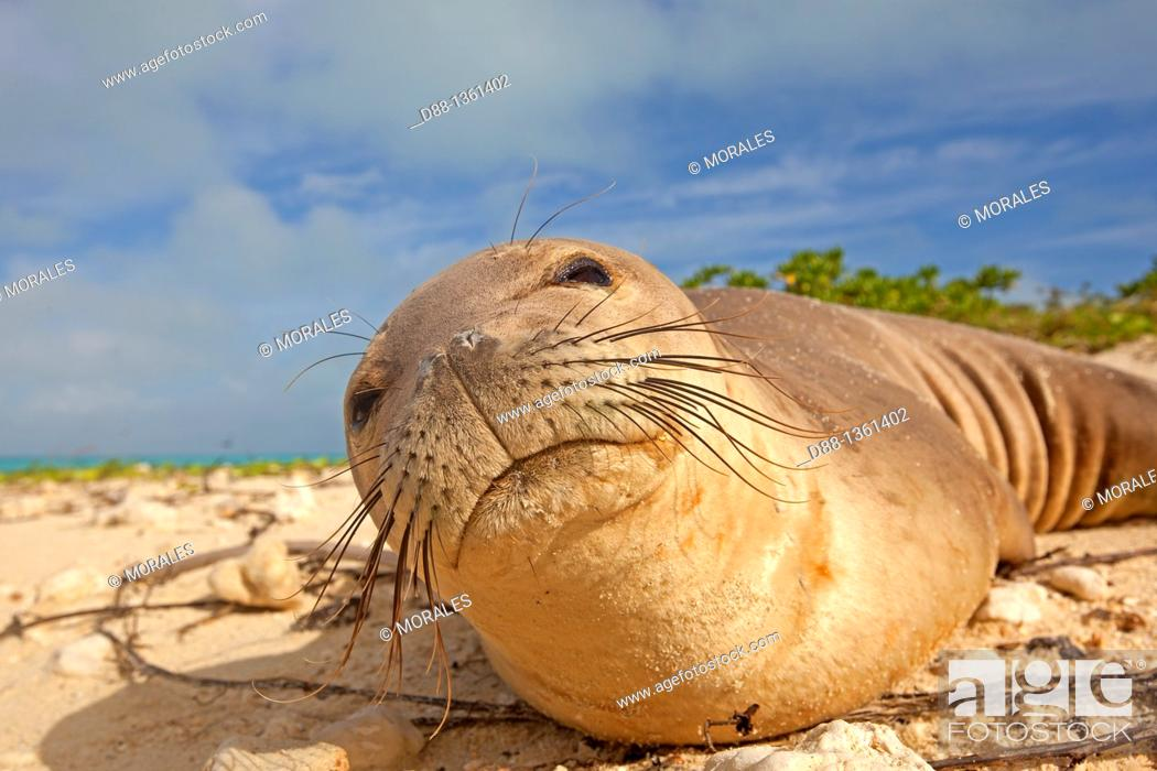 Stock Photo: Hawaï , Midway , Sand Island , Hawaiian monk seal  Monachus schauinslandi.