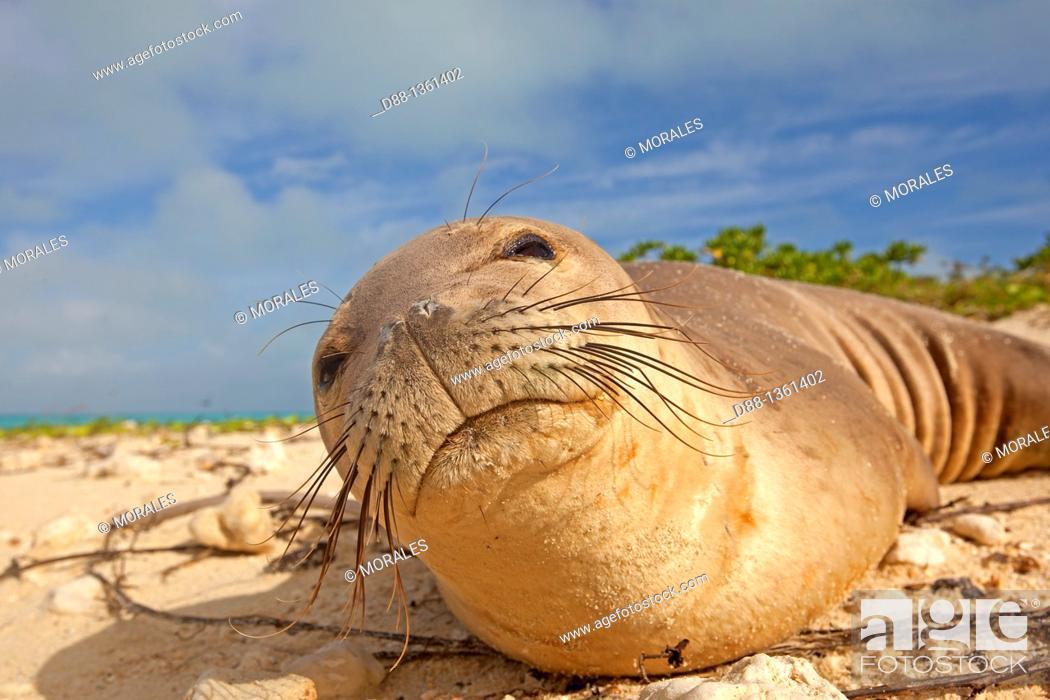 Stock Photo: Hawaï , Midway , Sand Island , Hawaiian monk seal  Monachus schauinslandi.