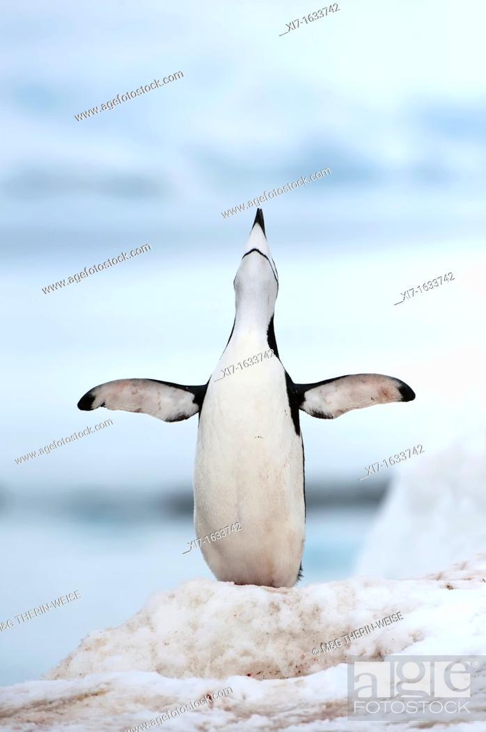 Stock Photo: Chinstrap penguin Pygoscelis Antarctica, Half Moon Island, South Shetland Island, Antarctic Peninsula.