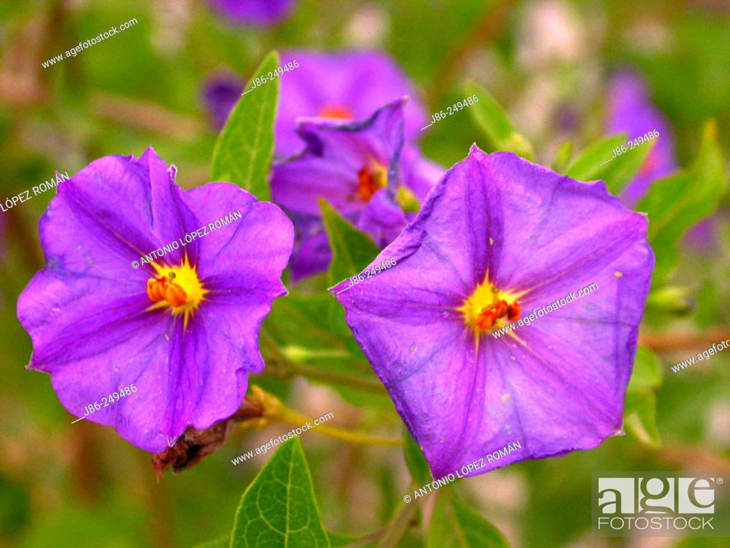 Stock Photo: Flowers (Solanum ratonnetii).