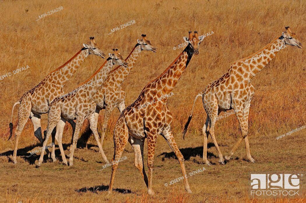 Stock Photo: Herd of giraffe on dried pan, Hwange, Zimbabwe, Africa.