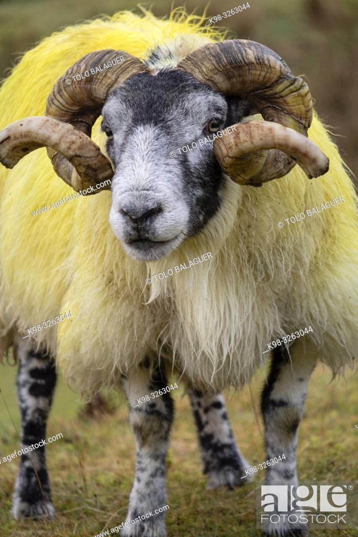 Stock Photo: Lamb, Quiraing valley, Isle of Skye, Highlands, Scotland, United Kingdom.