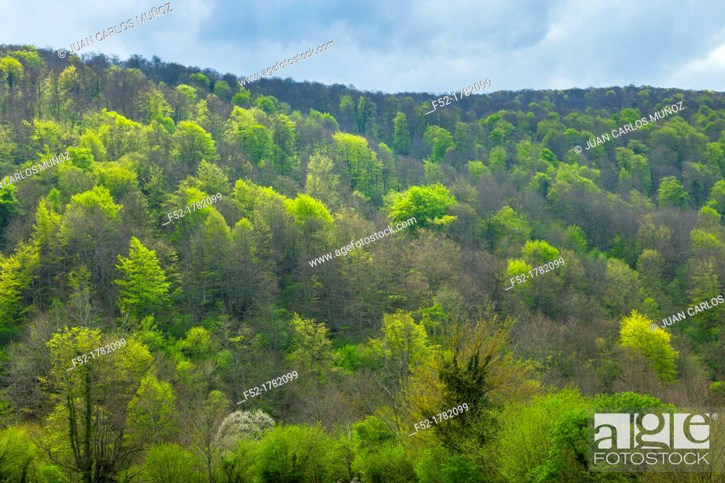 Stock Photo: European Beech or Common Beech forest, Saja-Besaya Natural Park, Cantabria, Spain, Europe.