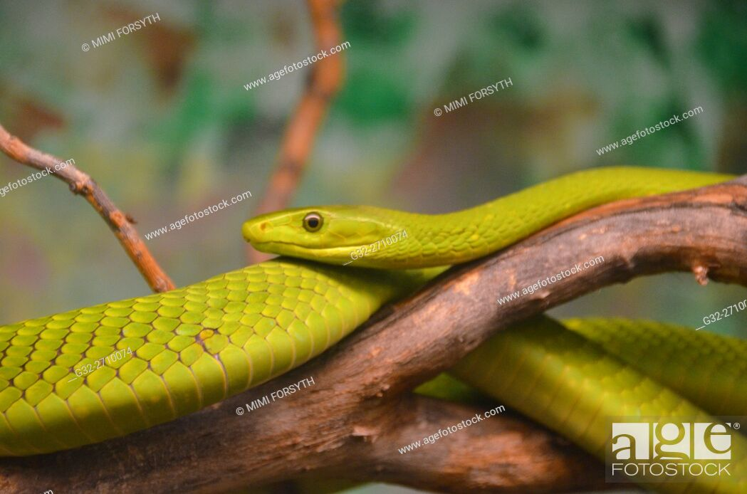 Stock Photo: Eastern Green Mamba (Dendroaspis angusticeps), native to East Africa. Venomous.