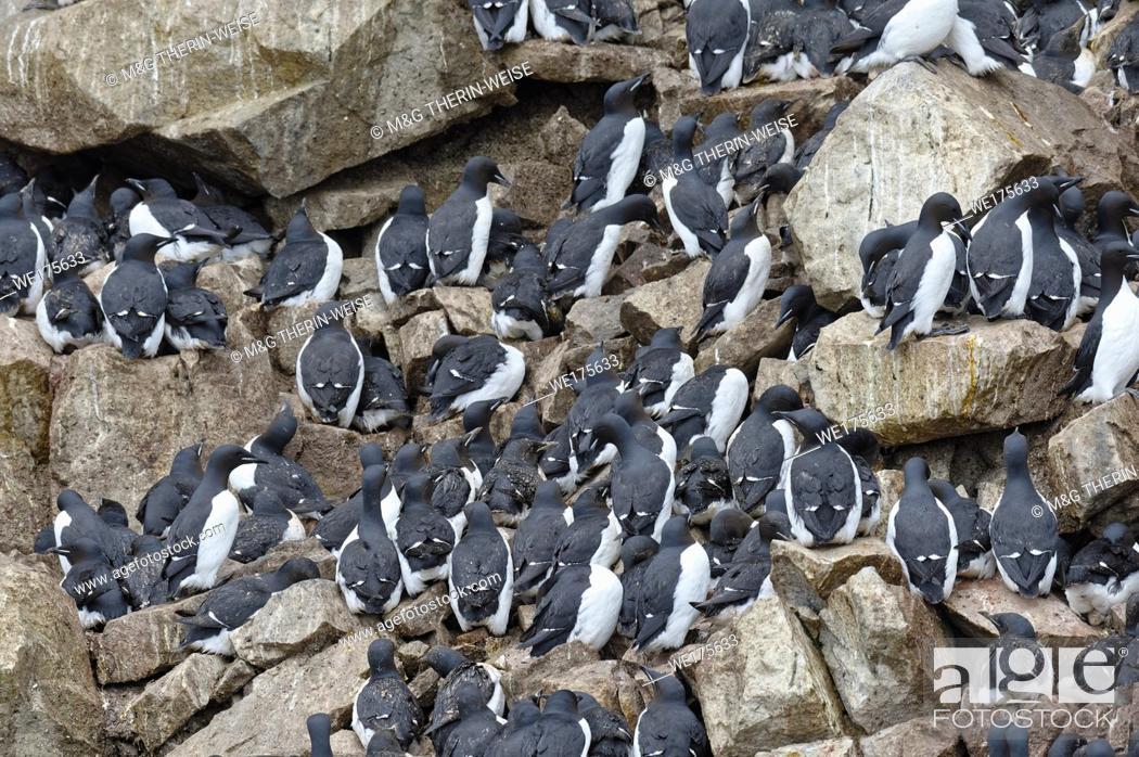 Photo de stock: Thick-billed Murres (Uria lomvia) or Brunnich's guillemots colony, Alkefjellet bird cliff, Hinlopen Strait, Spitsbergen Island, Svalbard archipelago, Norway.