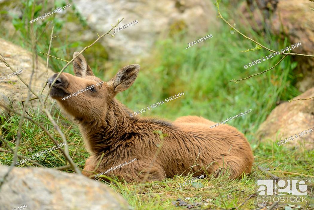 Imagen: Eurasian elk (Alces alces) youngster in a forest in early summer.