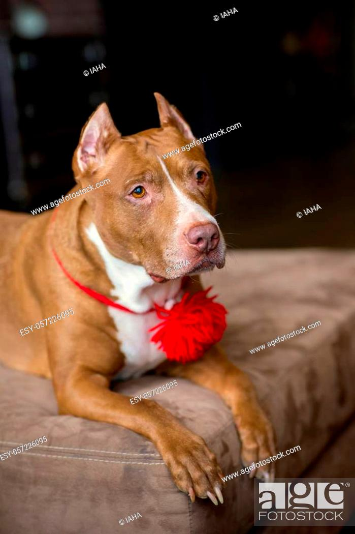 Stock Photo: red dog see pictures on humans.