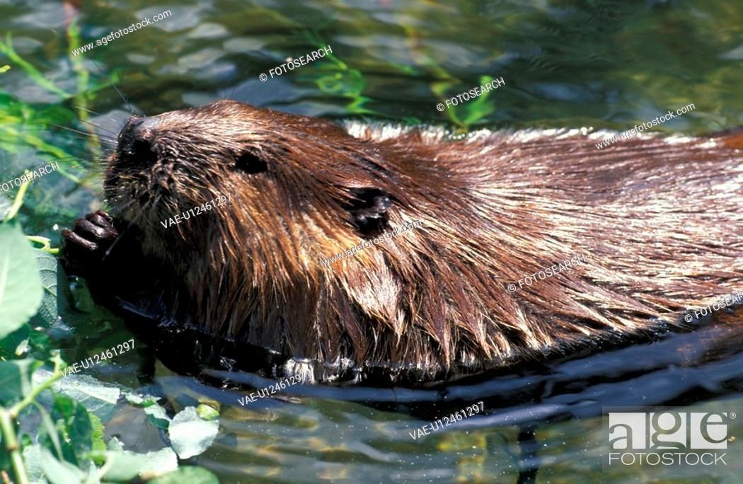 Stock Photo: beaver, castoridae, biber, animals.