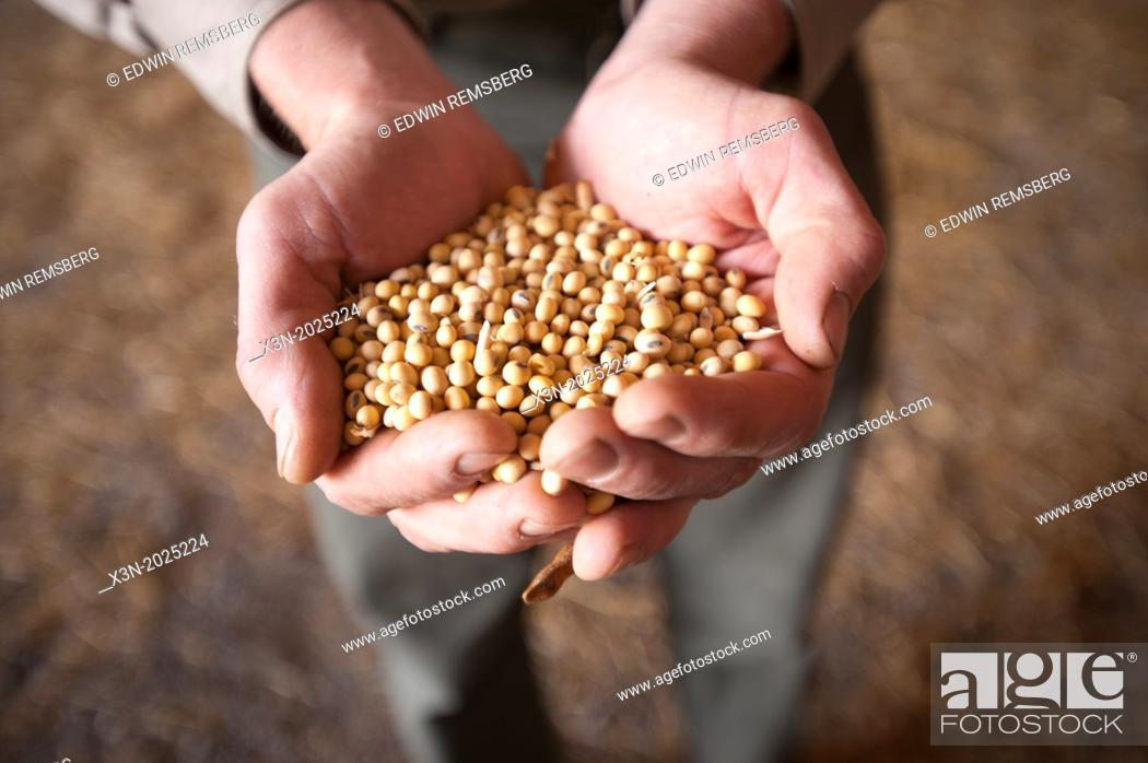 Stock Photo: Hands Holding Soybeans. Poolesville Maryland USA.