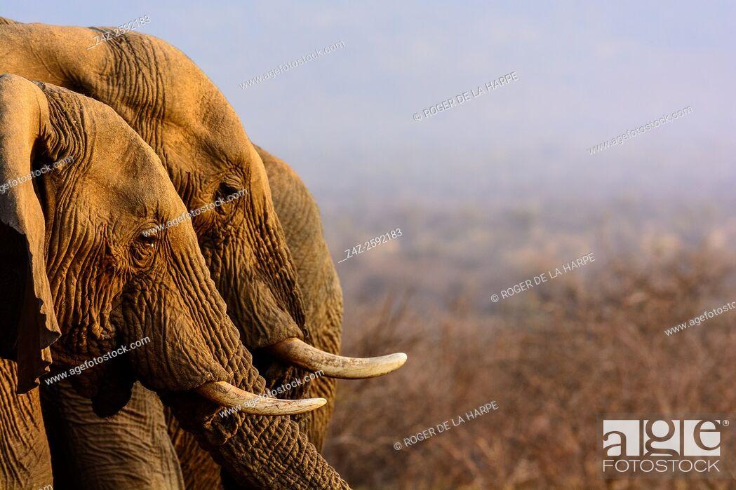 Imagen: African bush elephant (Loxodonta africana) drinking. Madikwe Game Reserve. North West Province. South Africa.