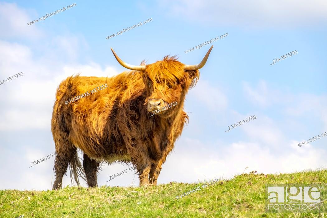 Stock Photo: Highland cattle on island Tiengemeten, The Netherlands, Europe.