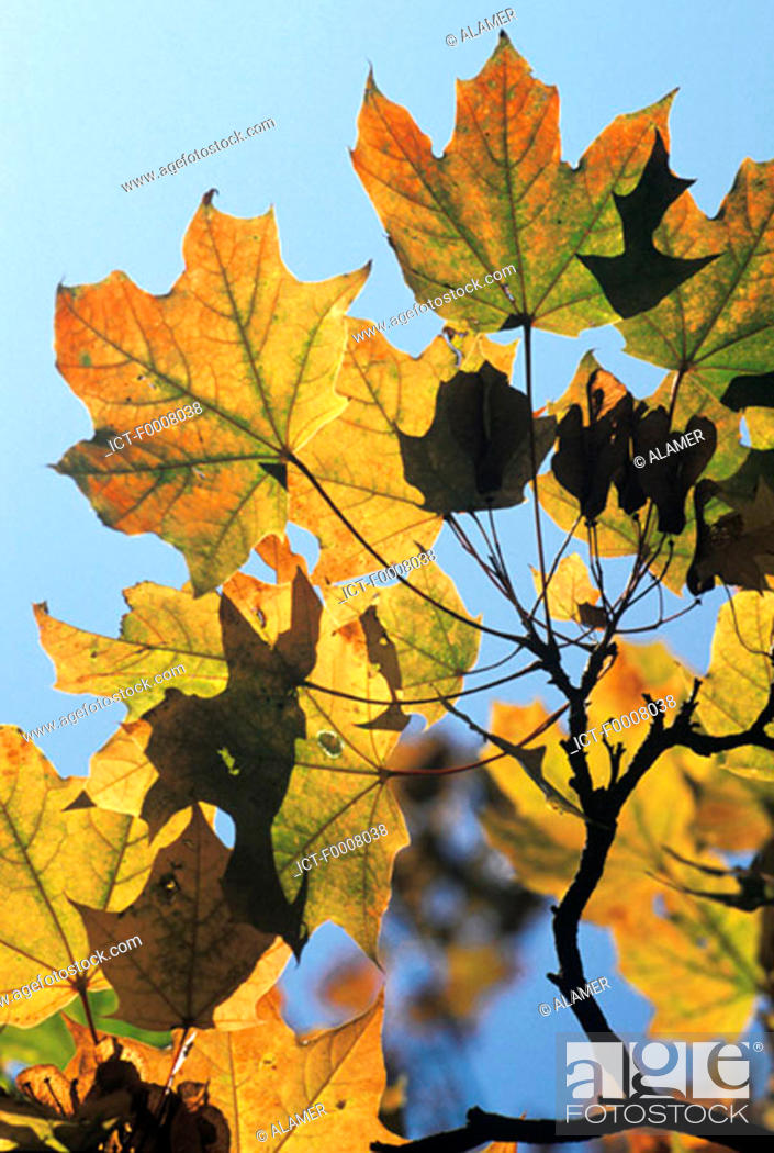 Stock Photo: Maple leaves.