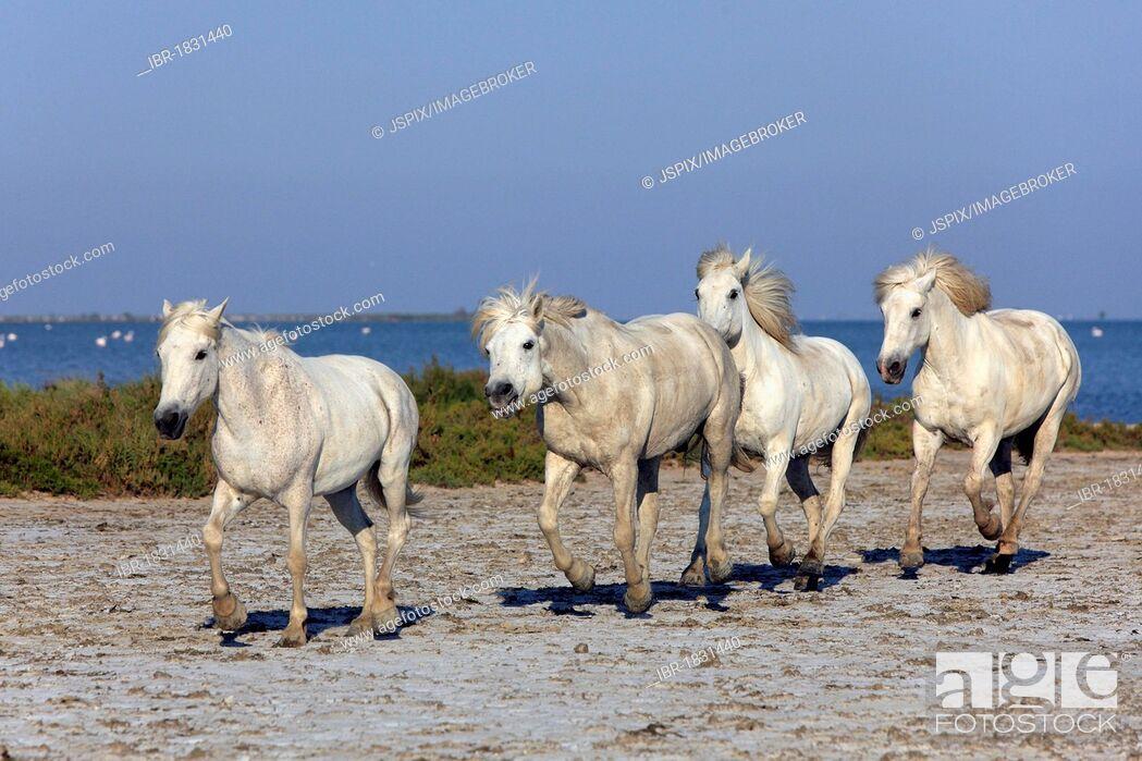 Photo de stock: Camargue horses (Equus caballus), Saintes-Marie-de-la-Mer, Camargue, France, Europe.