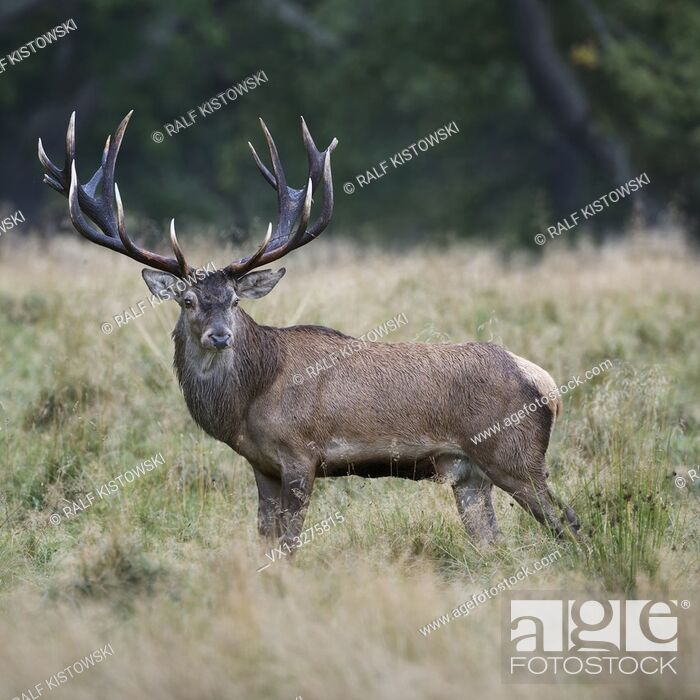 Stock Photo: Red Deer ( Cervus elaphus ), impressive royal stag, standing on a clearing in the woods, watching back, side view, Europe.