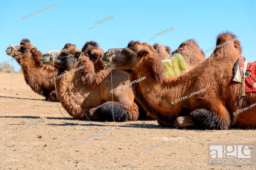 Stock Photo: Uzbekistan, Nurota tumani, Camelsafari in the Kizilkum desert.