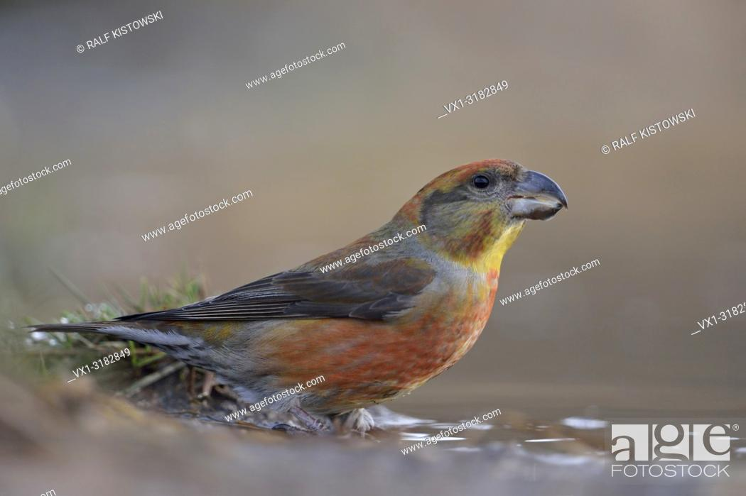 Imagen: Parrot Crossbill ( Loxia pytyopsittacus ), male, sitting at a natural puddle (wildlife).