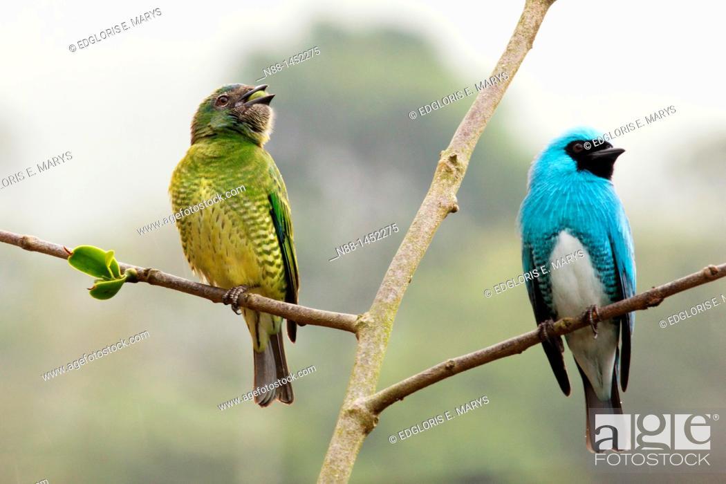 Stock Photo: Swallow tanager, Tersina viridis male and female under the rain, Cortada del Guayabo, Venezuela.