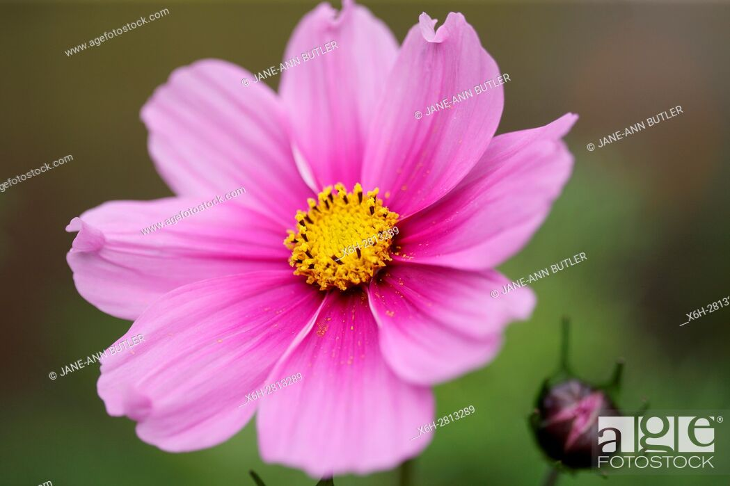 Stock Photo: stunning pink cosmos sonata and bud - forward looking and positive.
