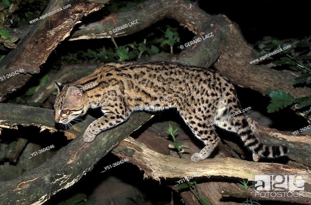 Imagen: Tiger Cat or Oncilla, leopardus tigrinus. South America.