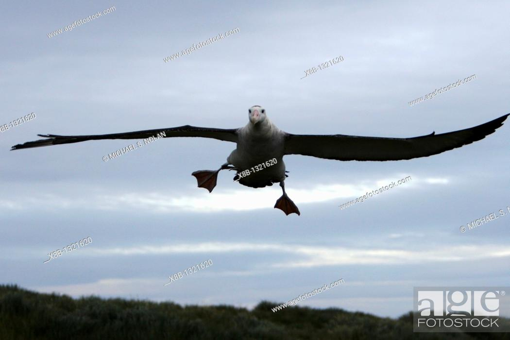 Stock Photo: Adult wandering albatross Diomedea exulans taking off or landing on Prion Island, which lies in the Bay of Isles towards the west end of South Georgia Island in.
