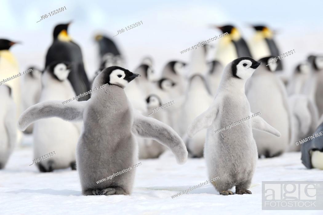 Stock Photo: Emperor penguin Aptenodytes forsteri, chick spreading wings in rookery  Snow Hill Island, Weddell Sea, Antarctica.