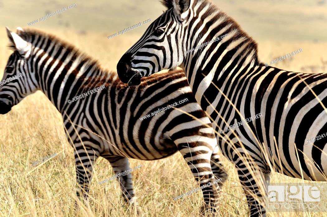 Stock Photo: Zebras, Equus burchelli, in Masai Mara, Kenya.